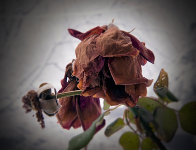 Rose 00121