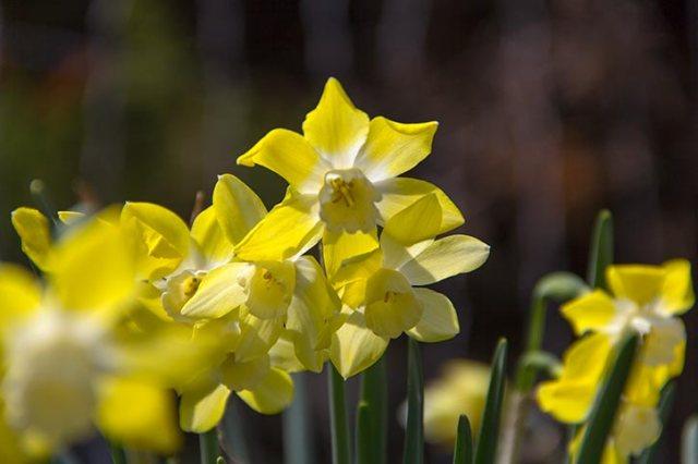 More daffodils!