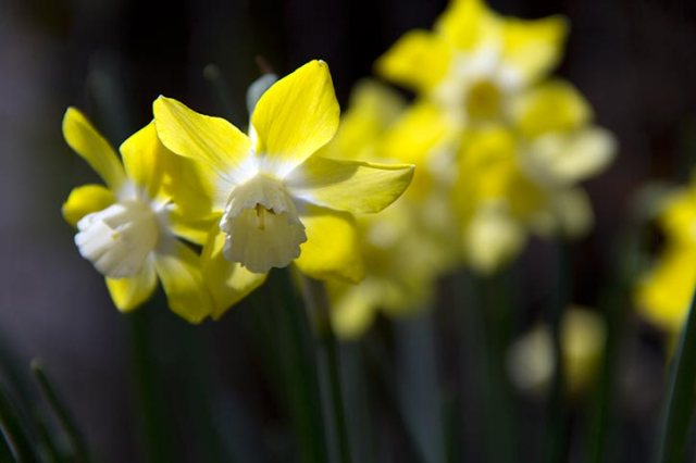 Yellow/white Daffodils