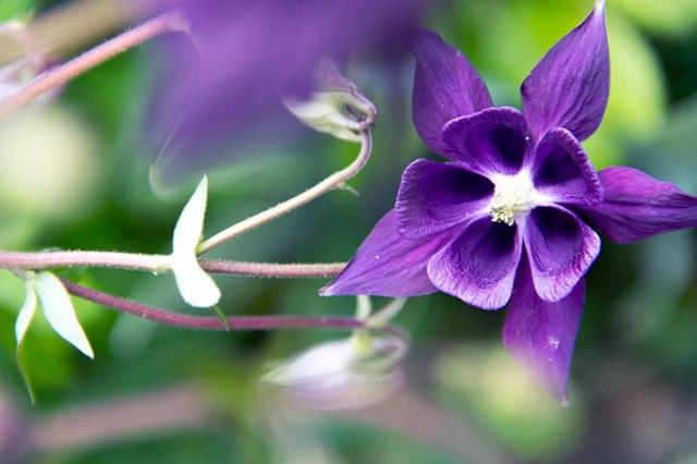 Ah Um a purple Columbine