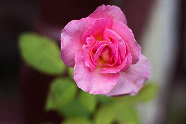 A rose after a rain