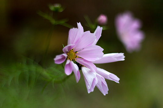 A lavender fall flower