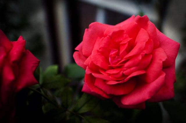 Fall Rose 2