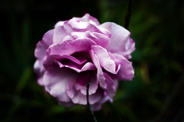 Fall Rose 5