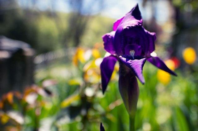 Iris 2